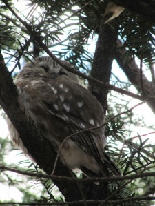 Picture 1: Saw-Whet Owl in Central Park, April 2013. (Picture: Hella Wittmeier)