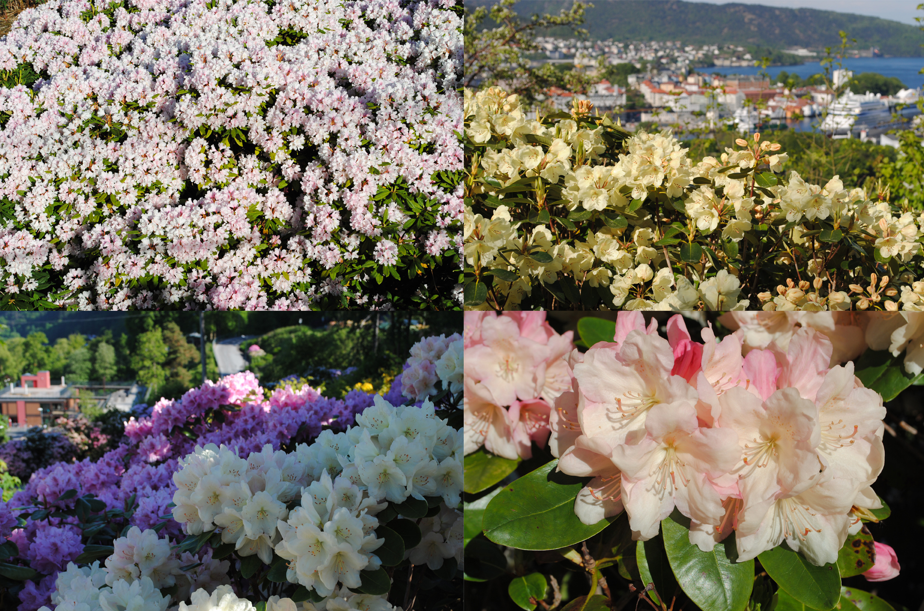 Rhododendrons in Bergen  2013 (photo: Mathew Reeve)