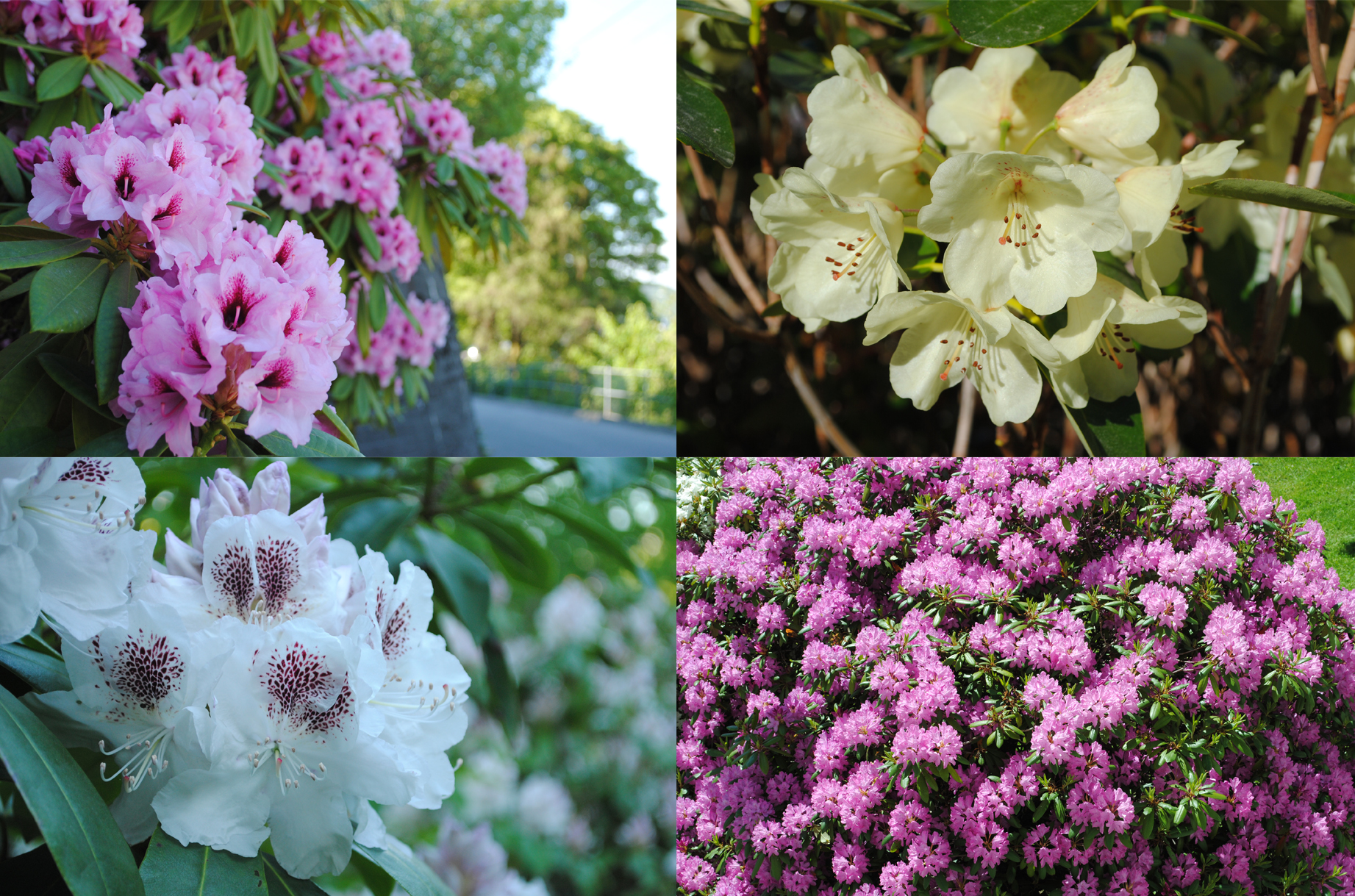 Even more Rhododendrons in Bergen 2013 (photo: Mathew Reeve)